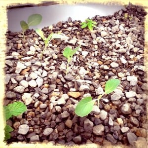 growing plants in gravel bed aquaponics