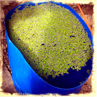 Duck weed
