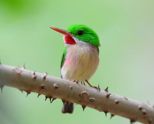 Birds of the Dominican Republic