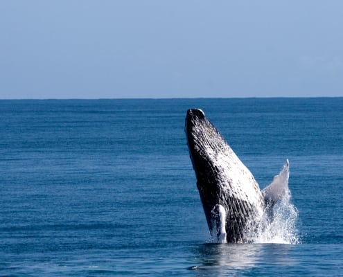 whale marine life in the dominican republic