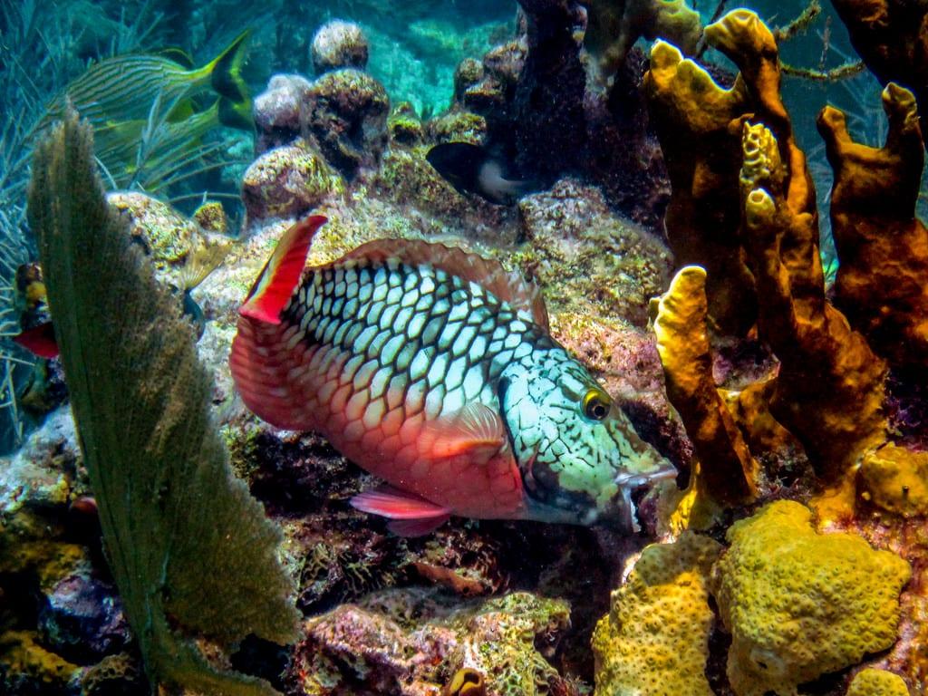 reefmuncher parrotfish