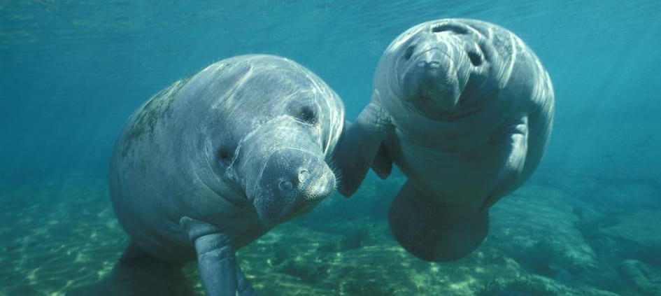 manatees in the Dominican republic